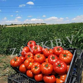 Farm Tomato